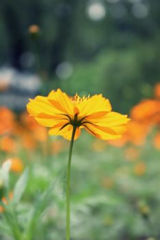 Yellow Cosmos by camnhungth