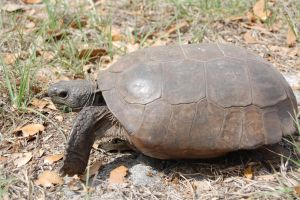 Cute Wild Gopher Tortoise in Florida by Forest-Imp