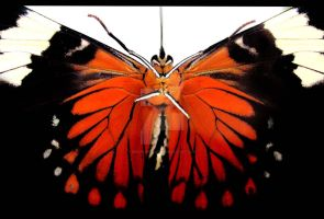 Butterfly closeup by Benjamin12282