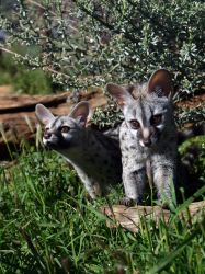 Small-Spotted Genet 3 by DoWnHIller