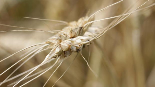 Wheat by UdoChristmann