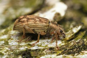 Weevil (Curculionoidea sp.) by Azph