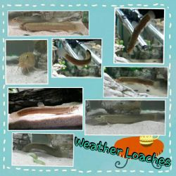 Weather Loach Collage by Darth-Emily