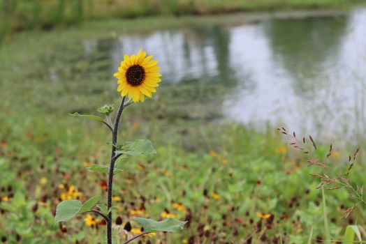 Lone Sunflower by Lake by MoozieBerry