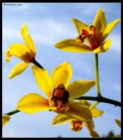 Small Yellow Orchids by BreeSpawn