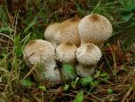 Gem studded puffball by Oniroid