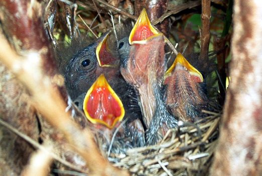 Chipping sparrow chicks by skydive1588