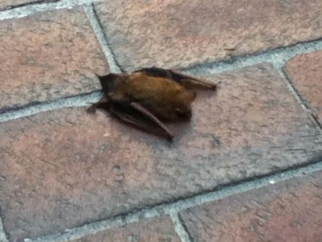Tiny Brown Bat I rescued. by TheStrawberryWitch