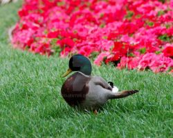 Happiest Duck on Earth by oddjester