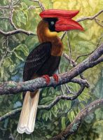 Great Phillipine Hornbill by WillemSvdMerwe