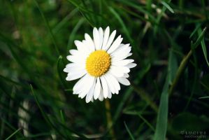 Spring daisy I by LuciusThePope