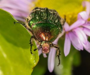 Green rose chafer 1 by Vitaloverdose