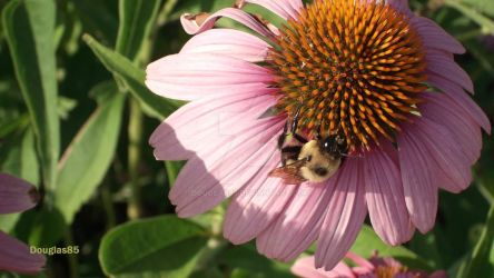 Coneflower and Friend by Douglas85