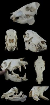 White-Lipped-Peccary Skull by CabinetCuriosities