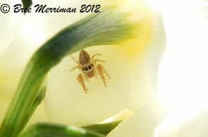 Jumping Spider VIII by BreeSpawn