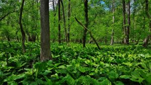 Skunk Cabbage Forest Scene 2017 by Matthew-Beziat