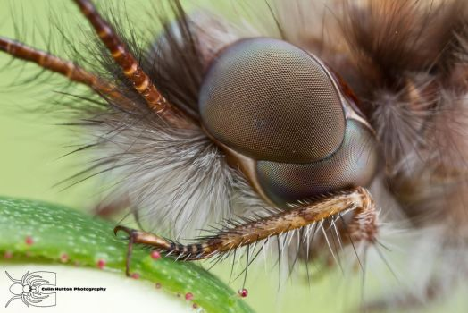 Owlfly - Ululodes sp. by ColinHuttonPhoto