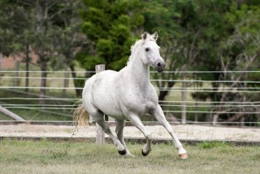 Dn white pony canter front view by Chunga-Stock