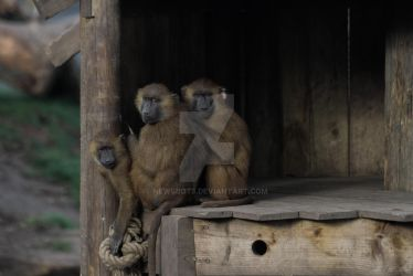 Baboon Family by NEWSBOT3