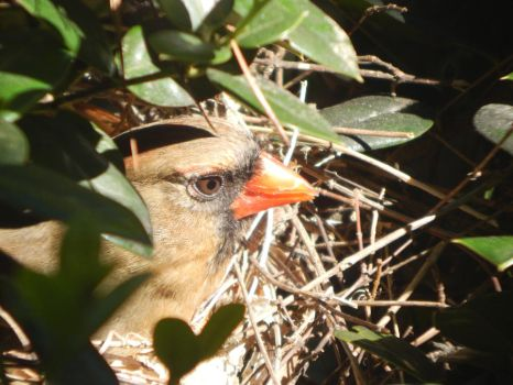 Mother Cardinal 2 by watercolos