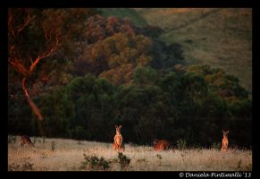 Wild Roos by TVD-Photography