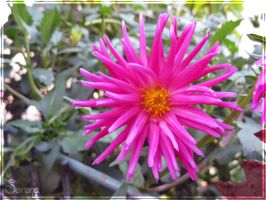 Fucsia flower by Olgola