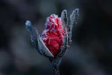 Icy Rose by PassionAndTheCamera