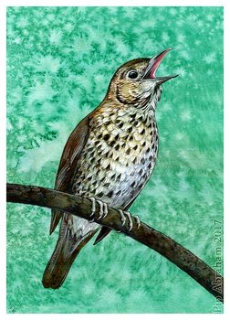 Commission: Song Thrush by oxpecker
