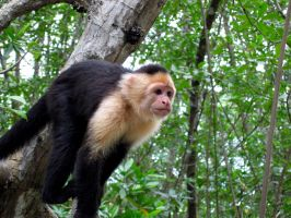 Capuchin Monkey in Costa Rica by DevastationStudios