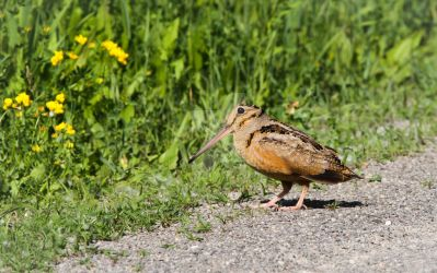 American Woodcock - Scolopax minor by Spirit-whales