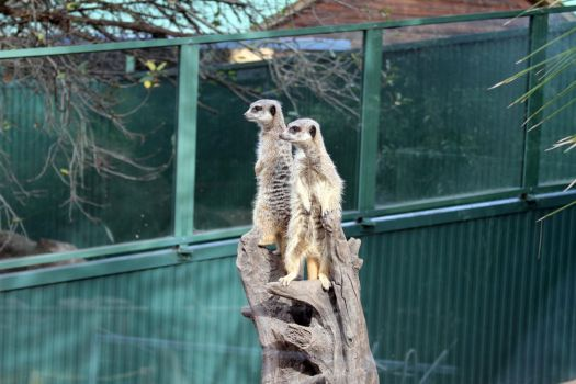 Meerkats on Guard by skyalin