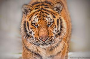 new-Tiger by brijome
