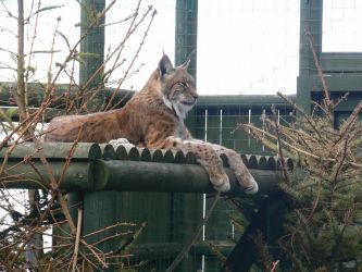 Lynx Lounging by Poison-Storm