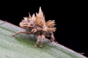 Fungus mimicking Weevil by melvynyeo
