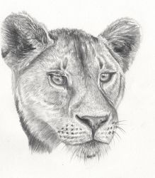 Lioness Head by Helena998