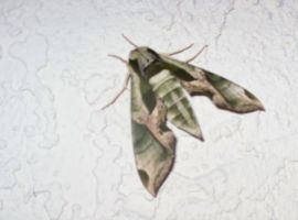 Camo Moth by ce3Design