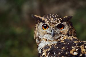 Cape eagle-owl by TriinErg