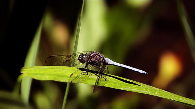 Dragonfly by pinica