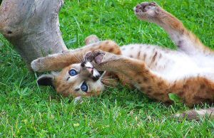baby cougar by neaters2000
