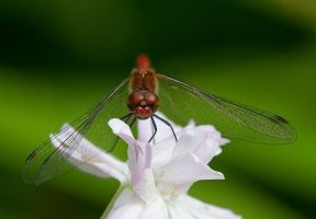 Red Dragonfly by CivettinaP