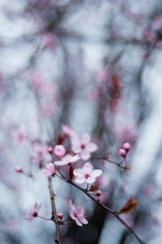 Seattle cherry blossoms by cmickle
