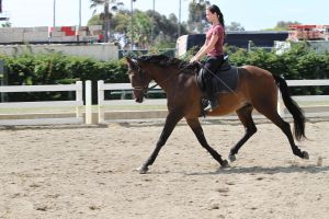 Bay Portuguese Lusitano Gelding Dressage Schooling by HorseStockPhotos