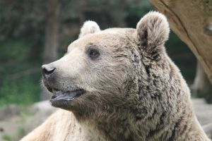 Bear 4 by Linay-stock