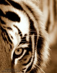 Eye of the Tiger by alahay