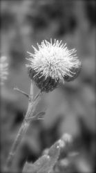 Thistle by ycrad64
