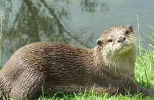 otter by x5472serenity