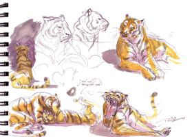 Tiger studies_Watercolor by davidsdoodles