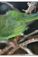 Emerald Toucanet by shawn529