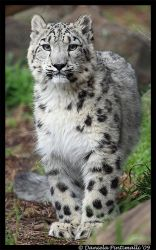 Baby Snow Leopard: Stare by TVD-Photography