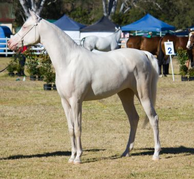 STOCK Canungra Show 2013-7 by fillyrox